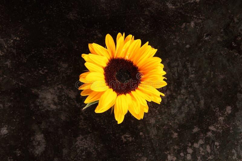 Одиночный яркий красочный желтый солнцецвет стоковые фото