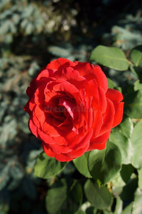 Один гибридный цветок красной розы чая стоковое фото rf