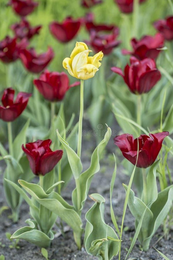 Один желтый tulipa тюльпана среди красного цвета растет в цветнике стоковая фотография rf