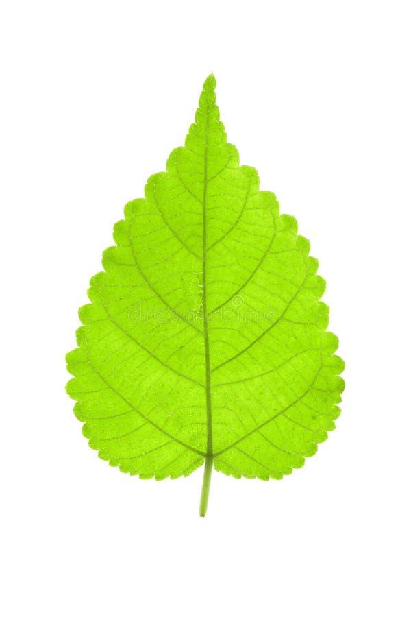 Один зеленый лист изолированный на белизне стоковое фото rf