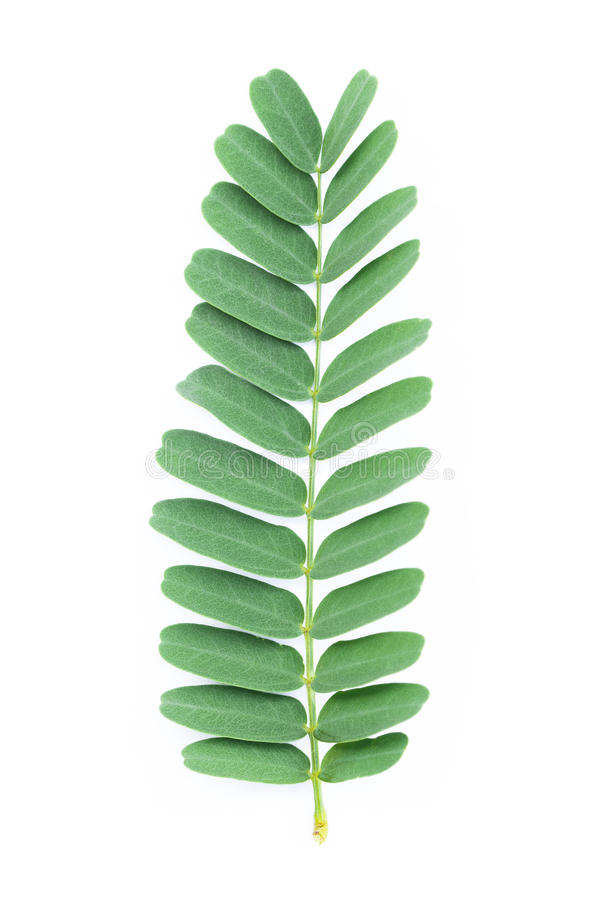 Один лист тамаринда изолированный на белизне стоковые изображения