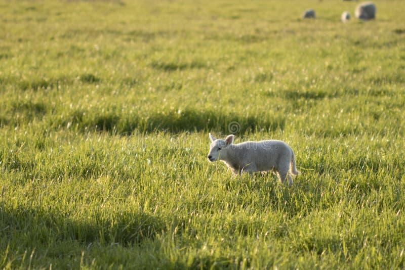 Один идти овечки стоковые фото