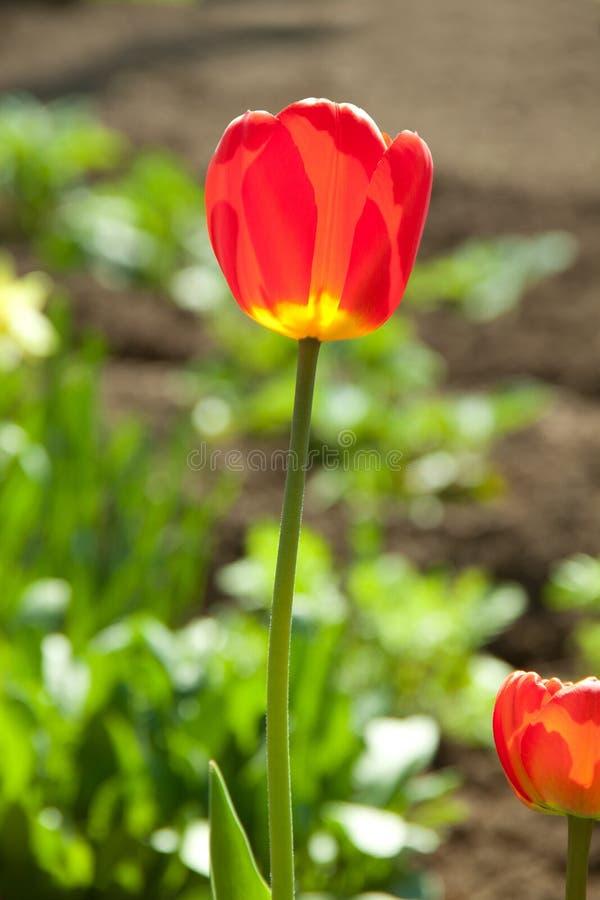 Один красный тюльпан стоковые изображения