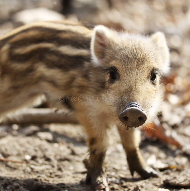 Один милый маленький одичалый ling свиньи с нашивками в природе стоковые фотографии rf