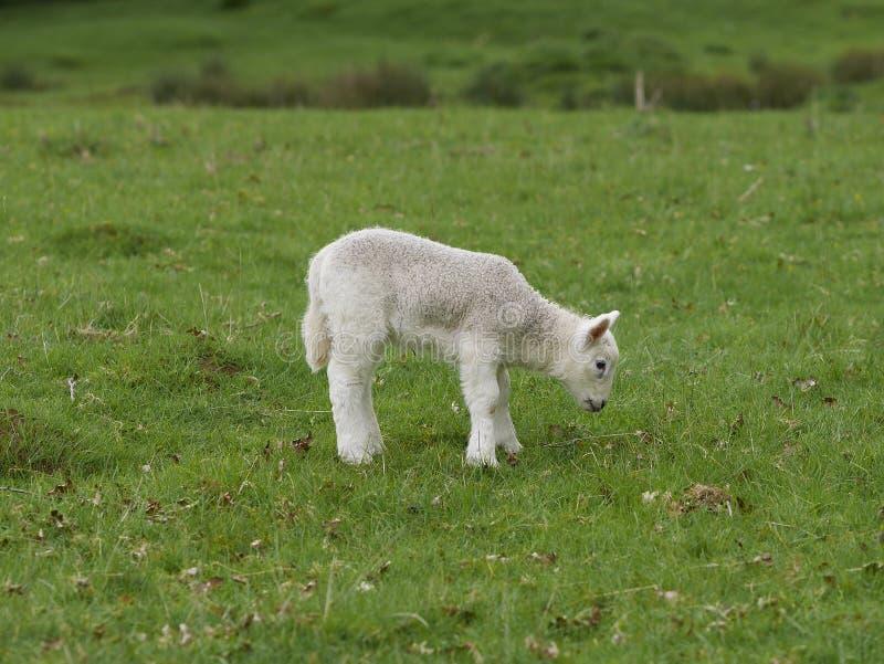 Один молодой подавать овечки стоковые фото
