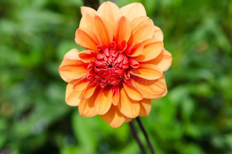Один оранжевый георгин стоковое фото