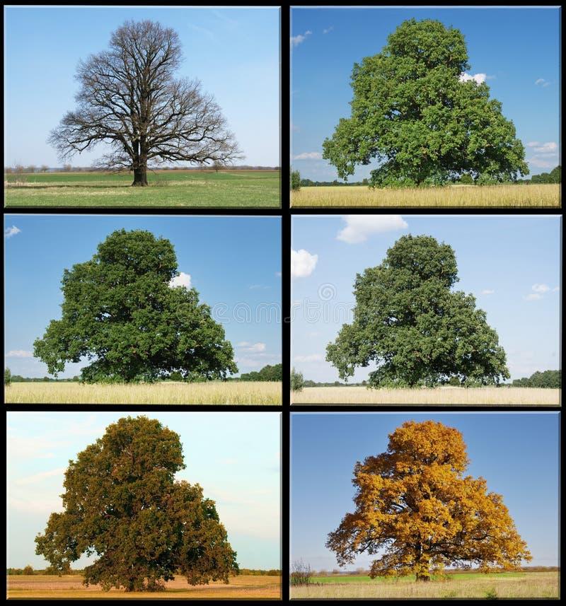 Один дуб в 4 сезонах стоковые фото
