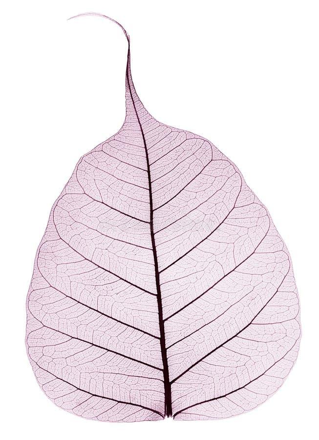 Один фиолетовый прозрачный высушенный упаденный лист стоковое изображение