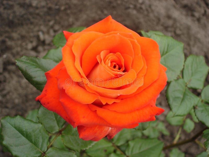 Один цветок 'время оранжевого гибрида розовый чая' стоковое изображение