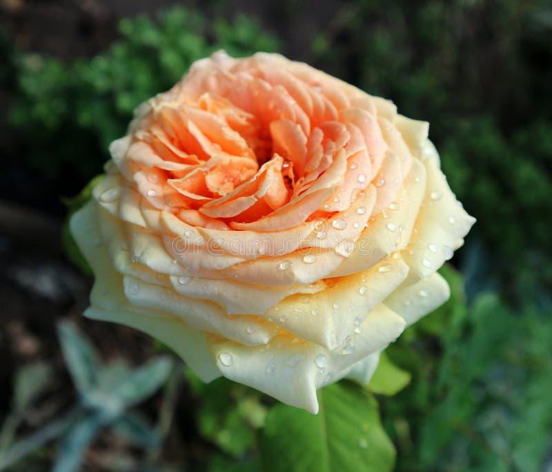 Один цветок гибридной сливк чая розовый с падениями стоковые изображения rf