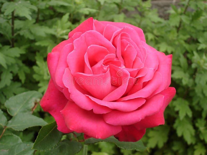 Один цветок 'Duftwolke' гибридного чая розовый стоковое фото