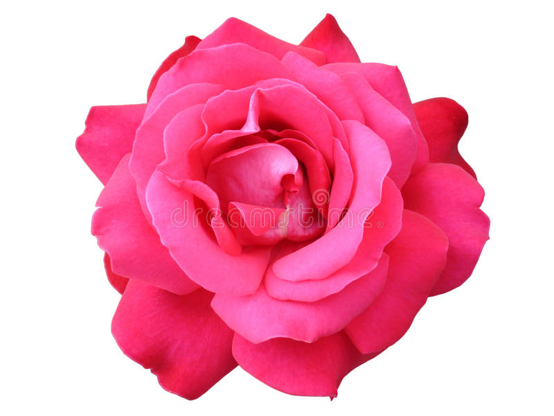 Один цветок 'Duftwolke' гибридного чая розовый стоковое изображение