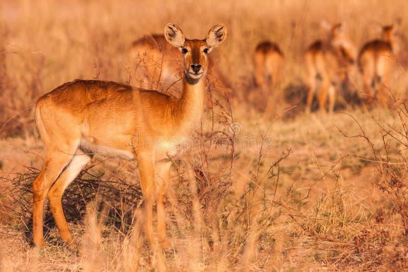 Одичалая антилопа Puku стоковое фото rf