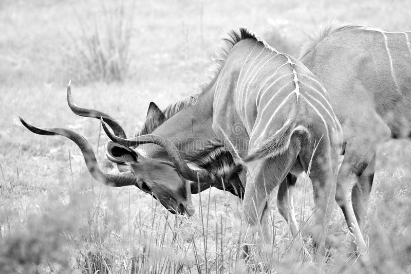 Одичалая африканская антилопа стоковое фото rf