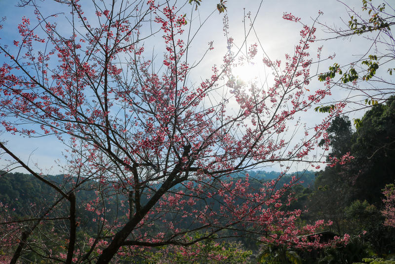 Одичалая гималайская вишня (cerasoides сливы) на Chiangmai Таиланде стоковая фотография
