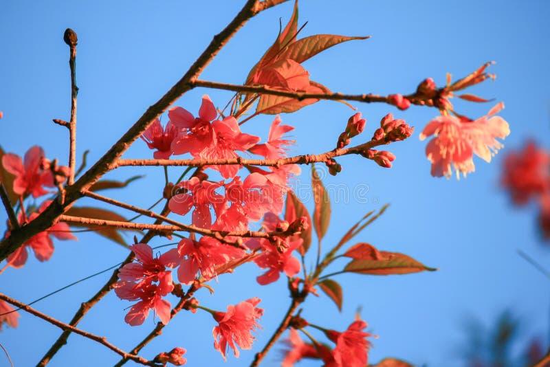 Одичалая гималайская вишня (cerasoides сливы) стоковые изображения rf