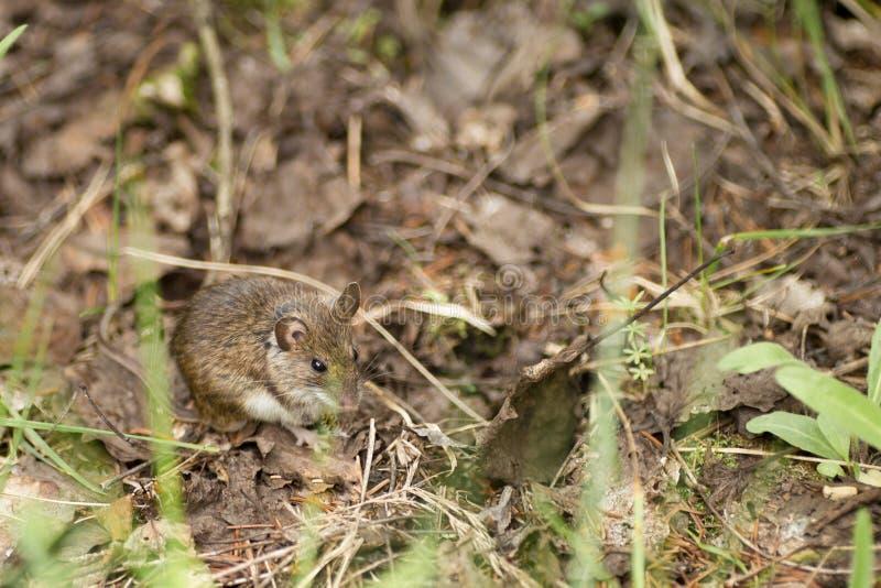 Одичалая деревянная мышь отдыхая на поле леса стоковое изображение rf
