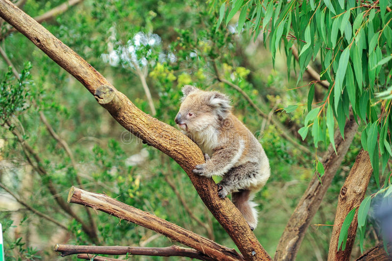 Одичалая коала взбираясь в своей естественной среде обитания эвкалиптов стоковые фотографии rf