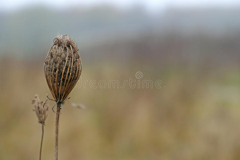 Одичалая морковь, сухой цветок в осени/зиме, предпосылке с экземпляром стоковое изображение rf