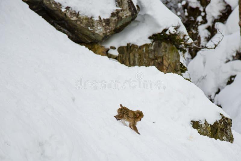 Одичалая обезьяна снега младенца сползая на снег стоковая фотография