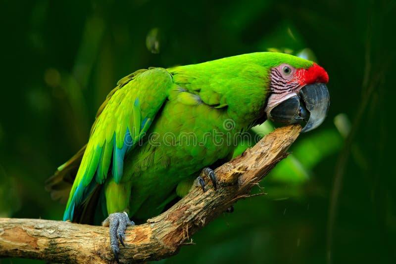 Одичалая птица попугая, ара зеленого попугая Больш-зеленая, ambigua Ara Одичалая редкая птица в среду обитания природы Зеленый бо стоковое фото