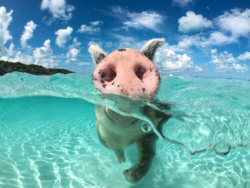 Одичалая, плавая свинья на больших майорах Cay в Багамских островах стоковое фото rf