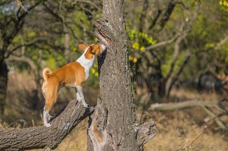 Одичалая собака Basenji обнюхивая вокруг своей территории стоковая фотография rf