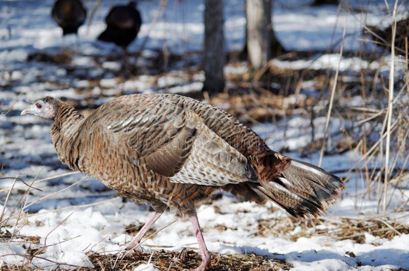 Одичалая Турция в древесинах зимы стоковые изображения