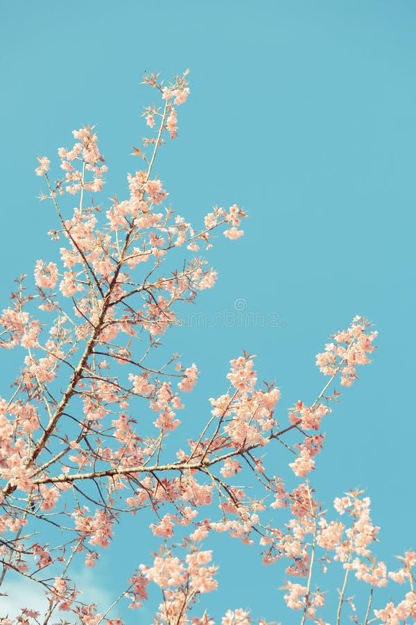 Одичалое гималайское цветение весны вишни стоковые изображения rf