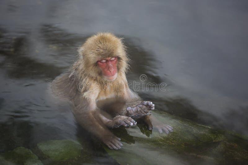 Одичалое Дзэн обезьяны снега младенца в горячих источниках стоковое изображение