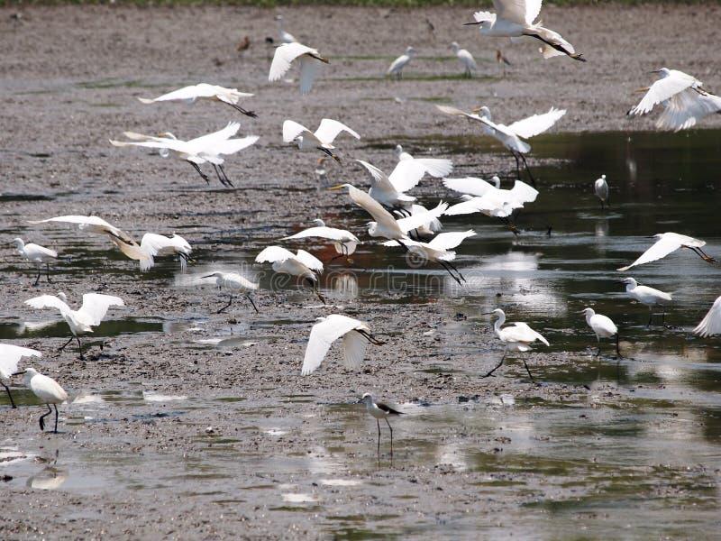 Одичалые белые большие птицы летая в ферму ищут для рыб стоковая фотография