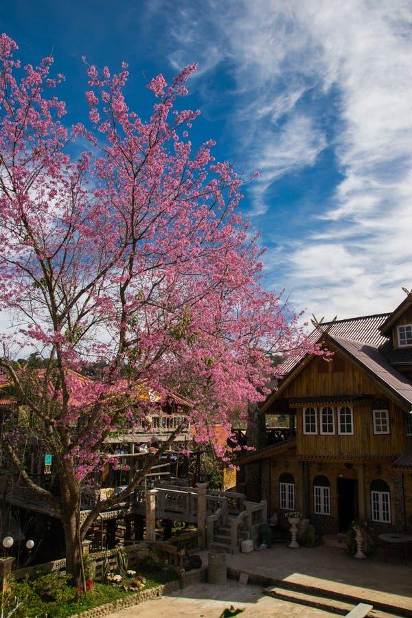 Одичалые гималайские вишневые цвета в Banrongkha стоковые изображения rf