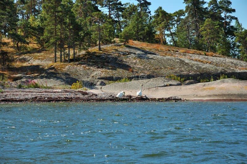 Одичалые гусыни на каменном острове стоковые фото