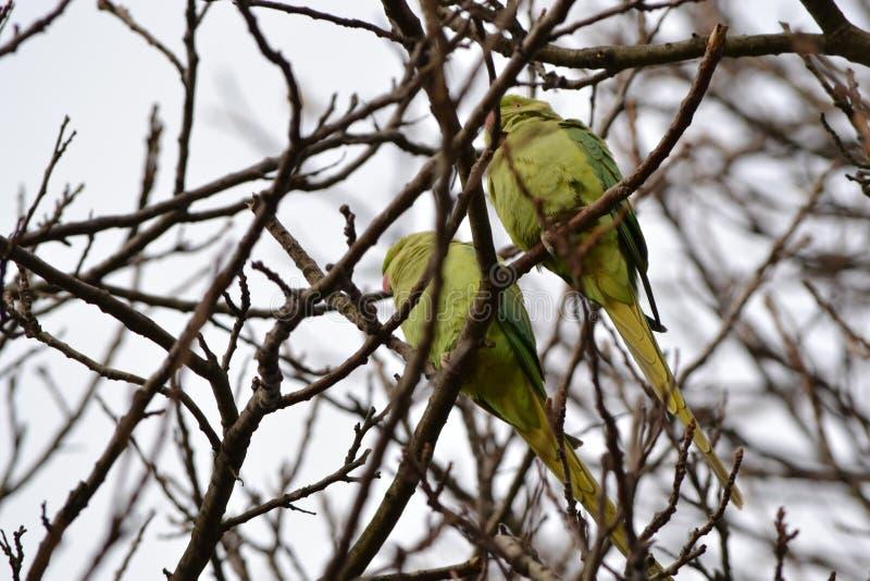 Одичалые длиннохвостые попугаи Гайд-парк Лондон стоковая фотография