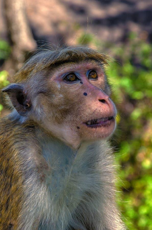 Одичалые обезьяны стоковая фотография rf