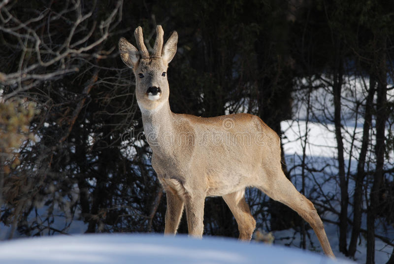 Одичалые олени косуль в зиме стоковые фотографии rf