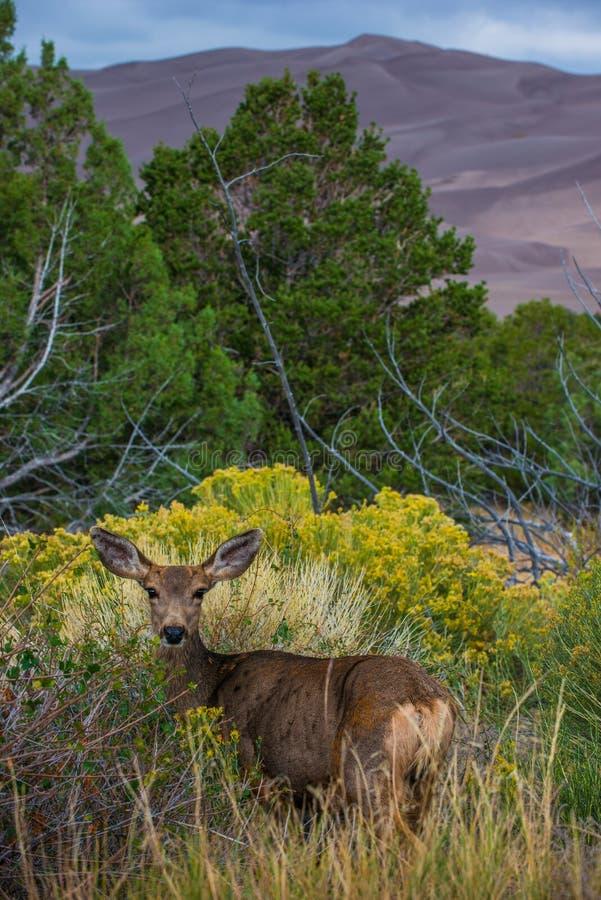 Одичалые олени смотря к живой природе Колорадо камеры стоковая фотография rf
