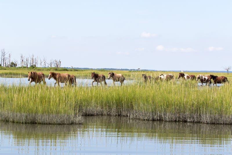 Одичалые пони Chincoteague идя в воду стоковая фотография rf