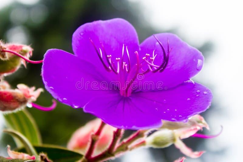 Одичалые пурпуровые цветки стоковые фото