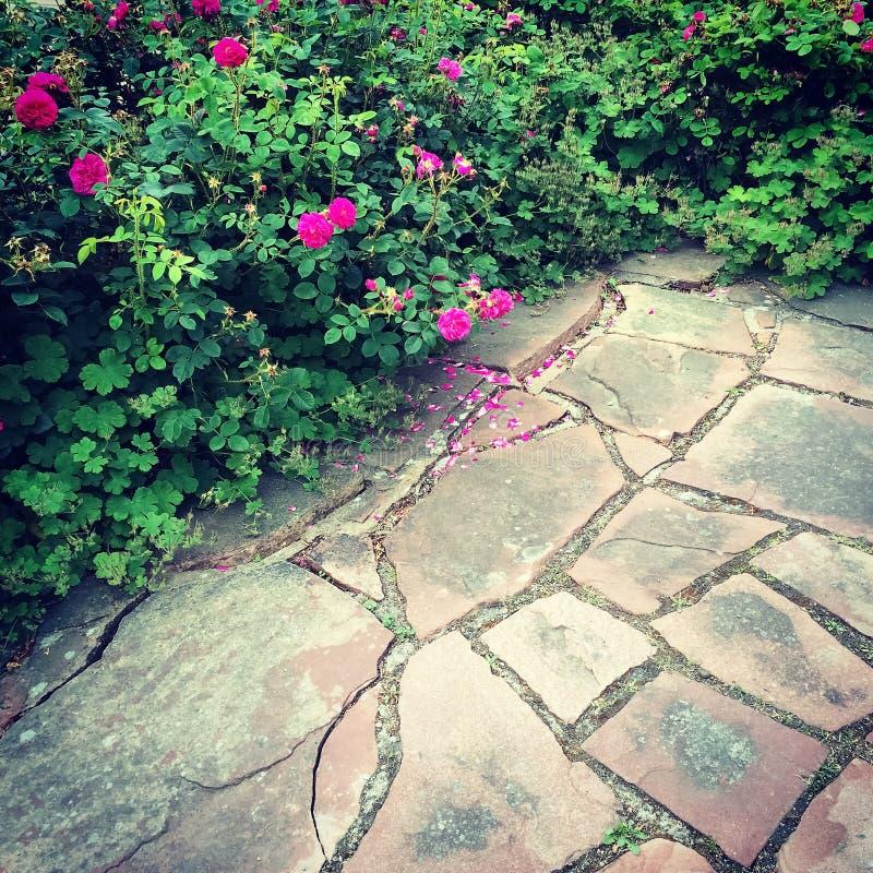 Одичалые розы в саде лета стоковые фотографии rf