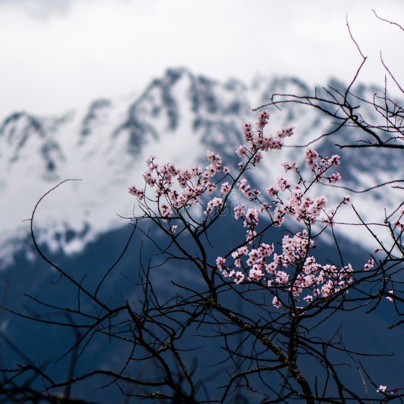 Одичалые тибетские цветения персика стоковое фото rf