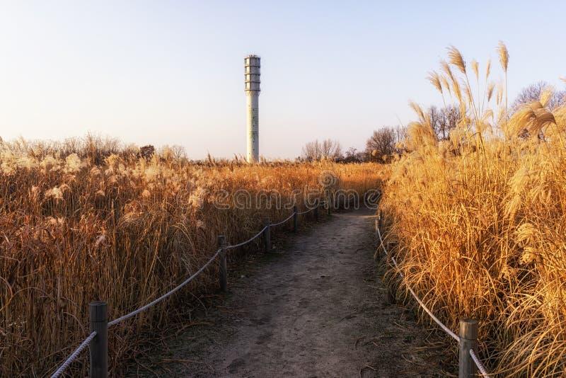 Одичалые тростники в парке haneul стоковое изображение