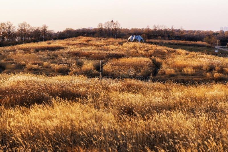 Одичалые тростники в парке haneul стоковое изображение rf