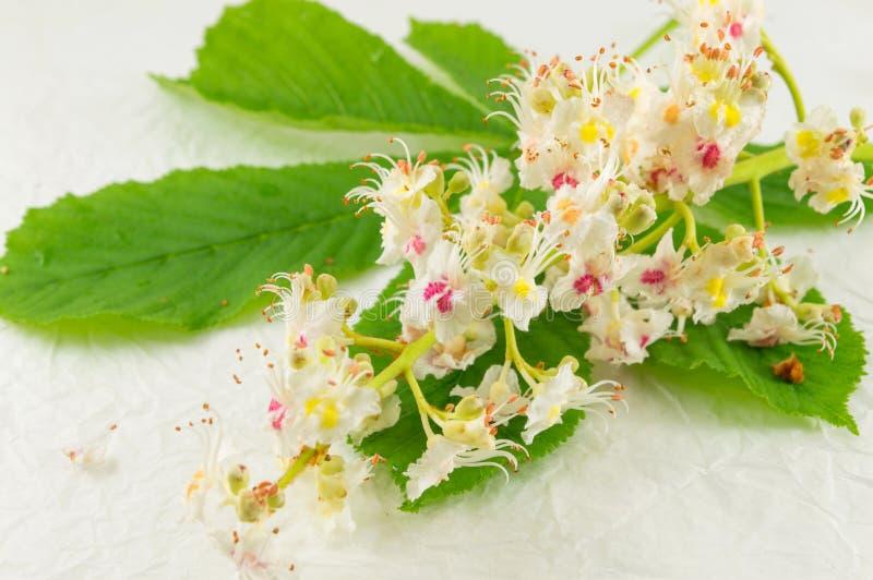 Одичалые цветки каштана в цветени стоковые фотографии rf