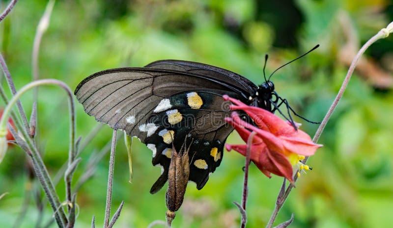Одичалые Columbine и бабочка стоковое изображение