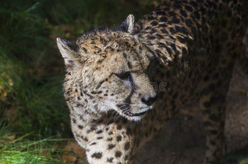 Одичалый гепард стоковое фото