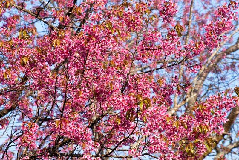 Одичалый гималайский цветок вишни стоковая фотография