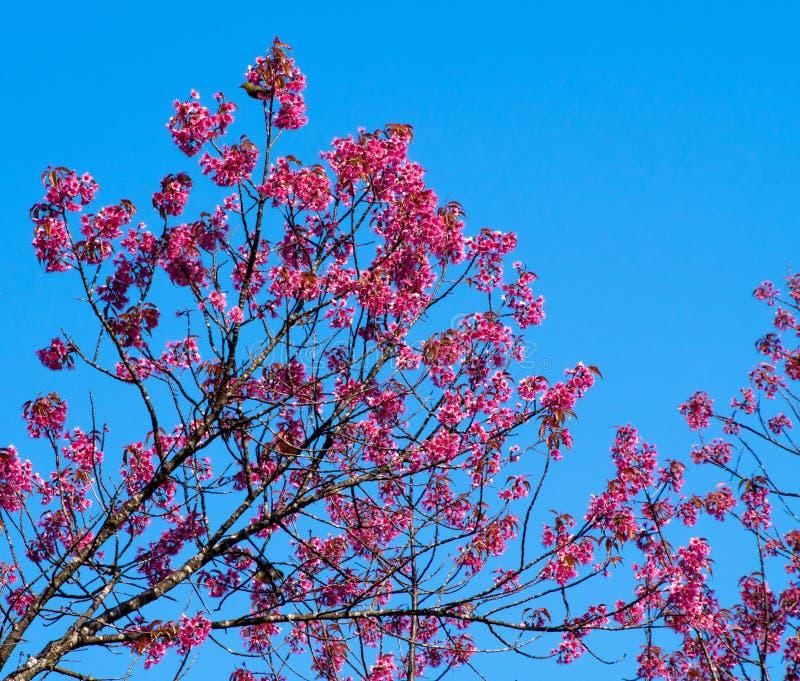 Одичалый гималайский цветок вишни стоковые изображения