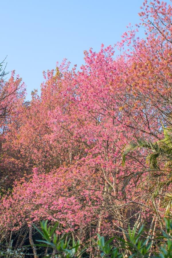 Одичалый гималайский цветок вишни стоковое изображение