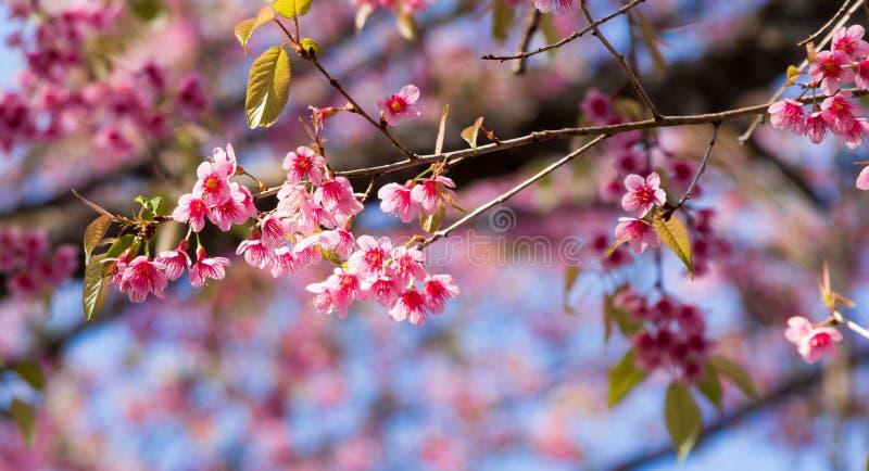 Одичалый гималайский цветок вишни стоковое изображение rf